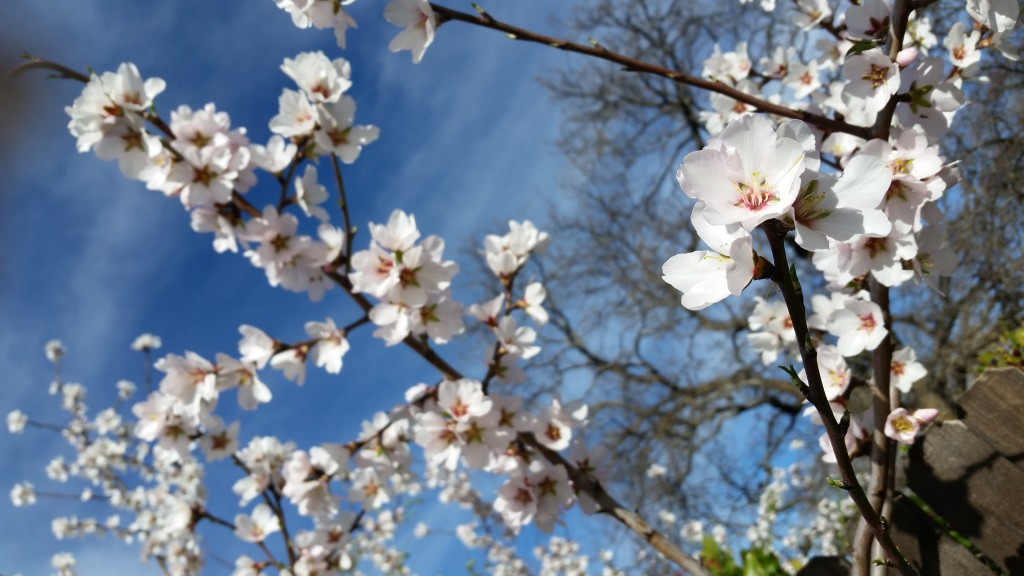 Delicate, sweet, fragrant almond blossoms along Putah Creek Road.