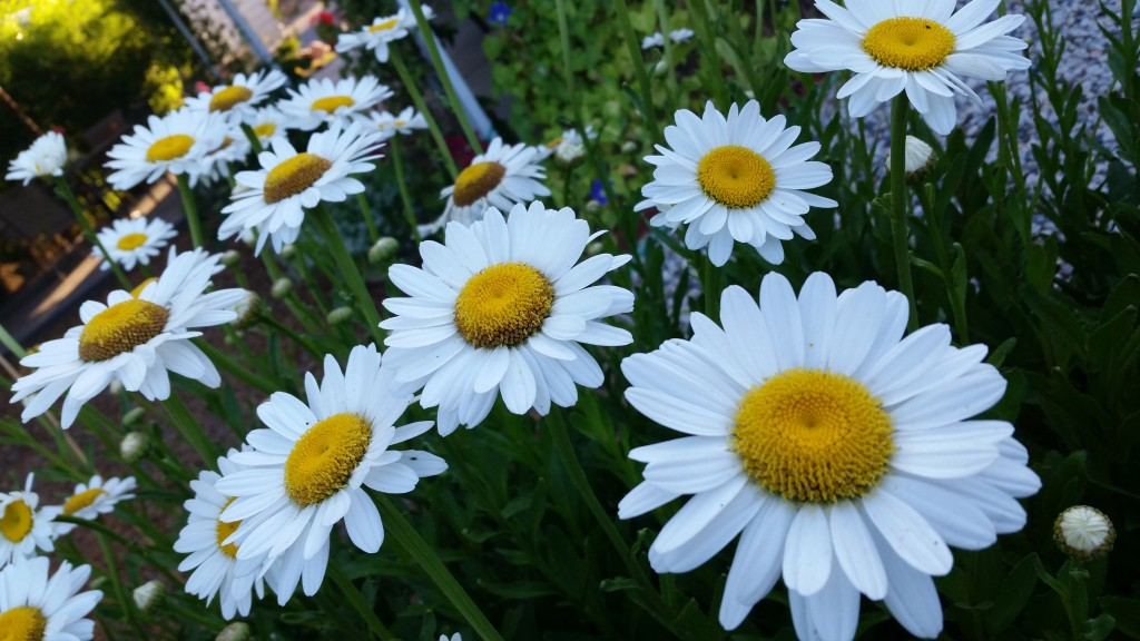 Bright and cheerful daisies.